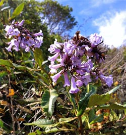 Yerba Santa's purple blossoms on display along the Sweeney Ridge Trail.