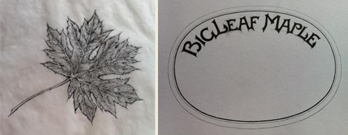 Jim Stitt's drawing of a BigLeaf Maple leaf and the hand-lettered final header