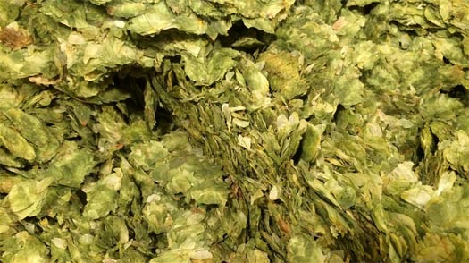 Does Anchor Use GMO Hops? | Using Hybrid Hops & Strains in
